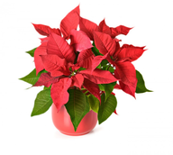 christmas plant home decor